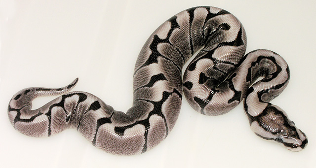 Ball Pythons For Sale Many Morphs P4s Ball Python Breeder